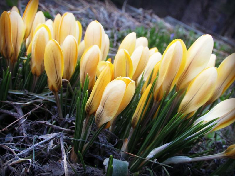 Yellow Crocuses Beginning to Bloom