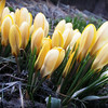 Yellow Crocuses Beginning to Bloom