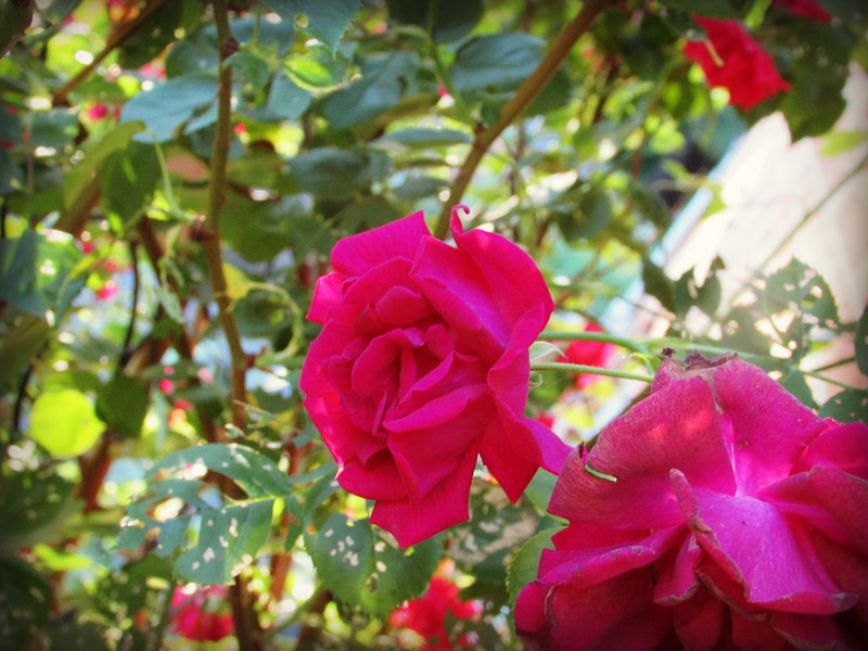 Red Rose with Tattered Leaves