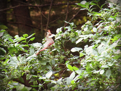 Cardinal in the Blueberry Bushes