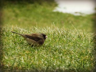 Sparrow Looking for Breakfast