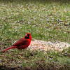Cardinal Eating Breakfast