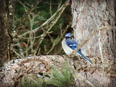 Blue Jay Afternoon