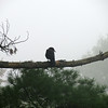 Black Crow on a Branch