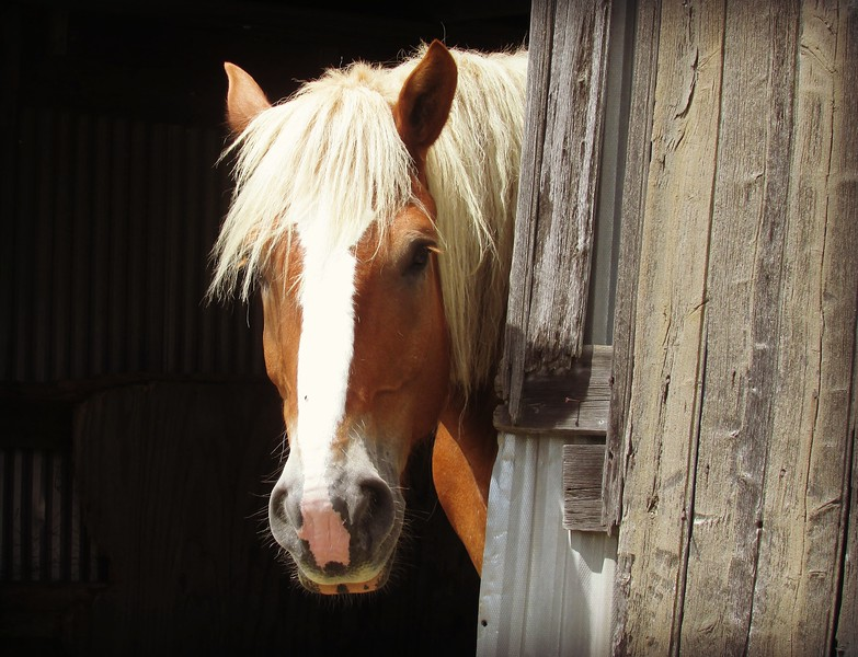 Belgian Drafthorse in Barn