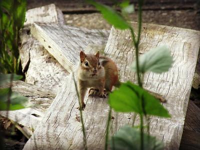 Chipmunk Caught Posing