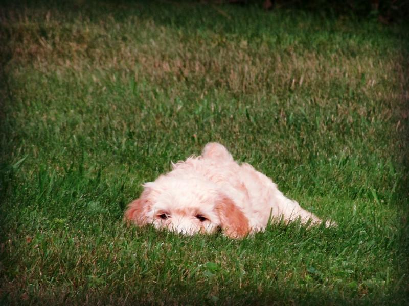 Goldendoodle Pup