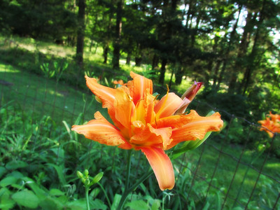 Daylily on Fire