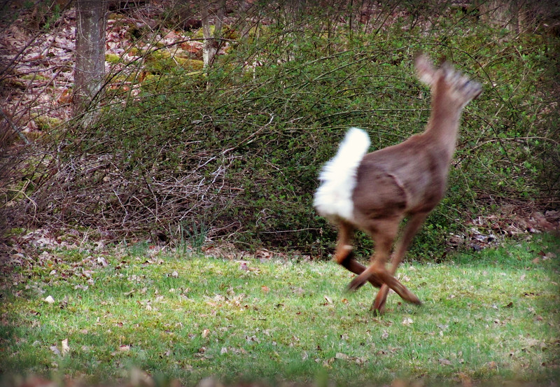 Doe Running in Woods