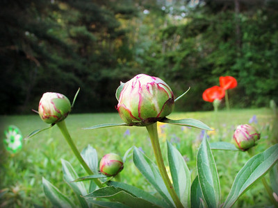 Peonies Ready to Bloom