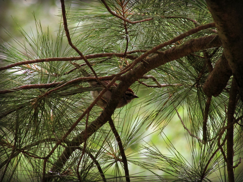 Male House Sparrow in Pine Tree