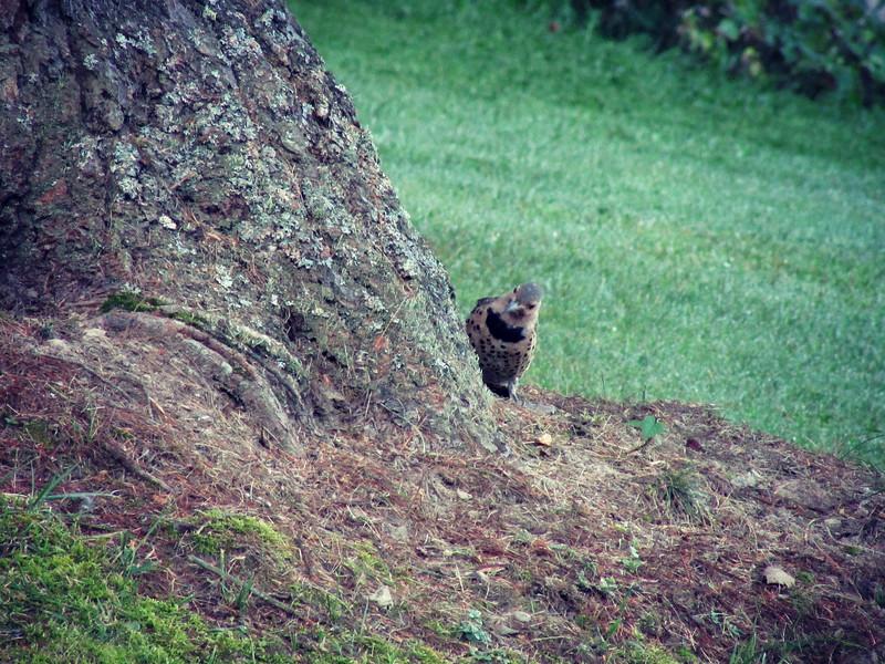 Northern Flicker Hunting for Breakfast