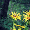 Bumblebee Resting on Giant Yellow Daisy Inula Magnifica