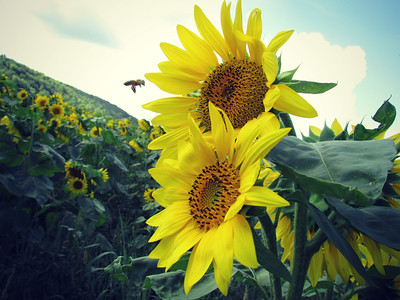 Sunflowers in a Field and a Bee