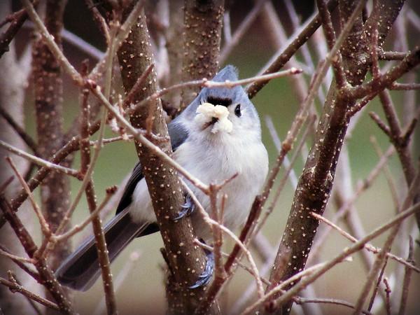 Blue Bird in Lilac Bush