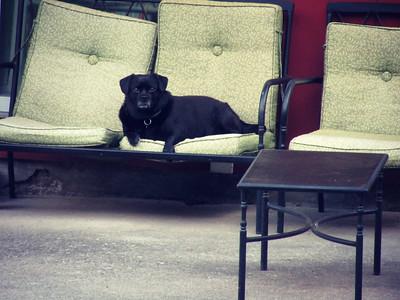 Pug Maltese Watchdog