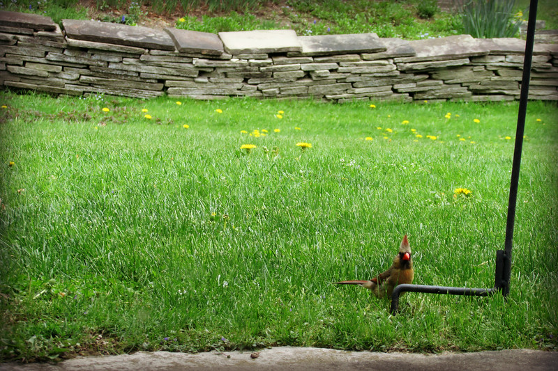 Female Cardinal Catches Photographer
