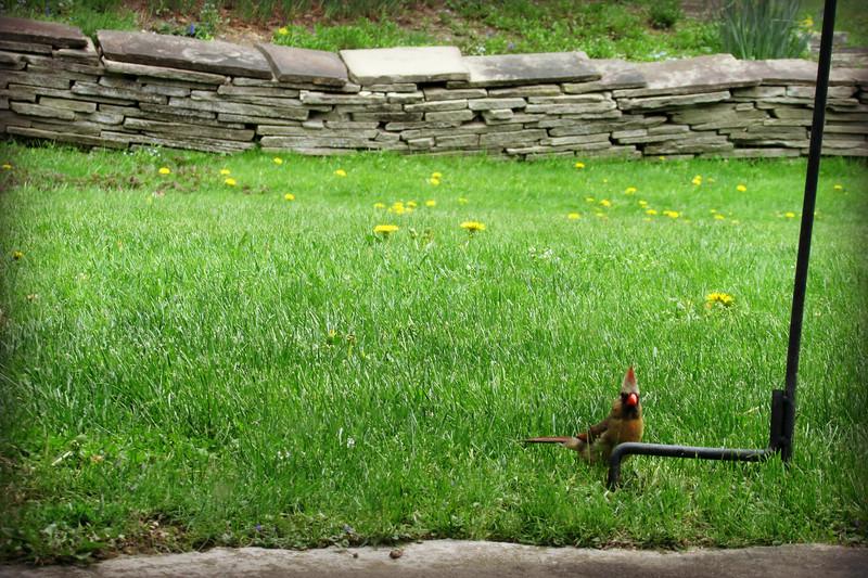 Female Cardinal Catches Photographer