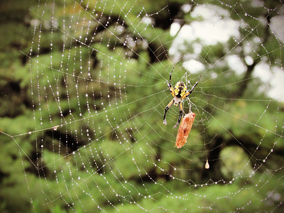 Argiope Spider in September
