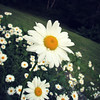 Daisy Flower Bed