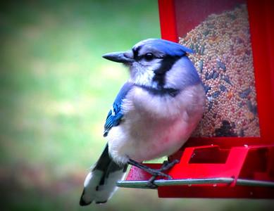 Blue Jay on Bird Feeder