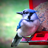 Blue Jay on Bird Feeder