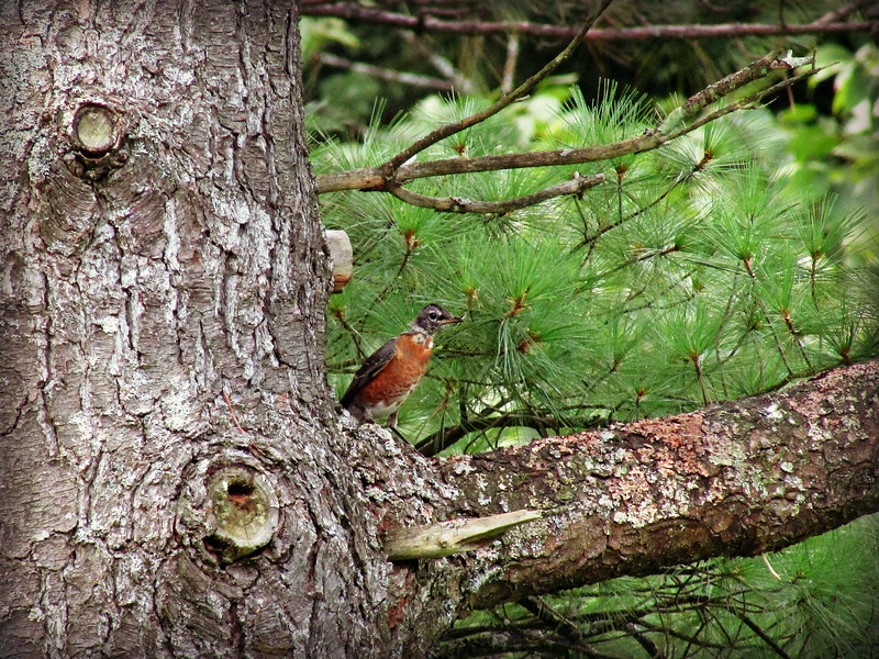 Robin in Pine Tree