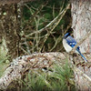 Blue Jay on Tree Branch