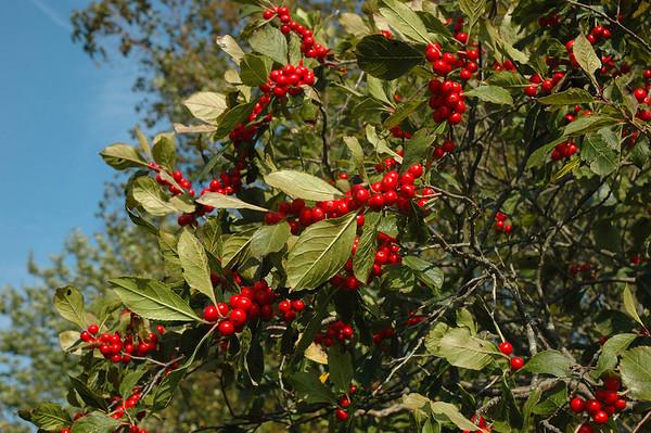 Plum Island - Hellcat Swamp - Marsh Trail - Wild Cherries