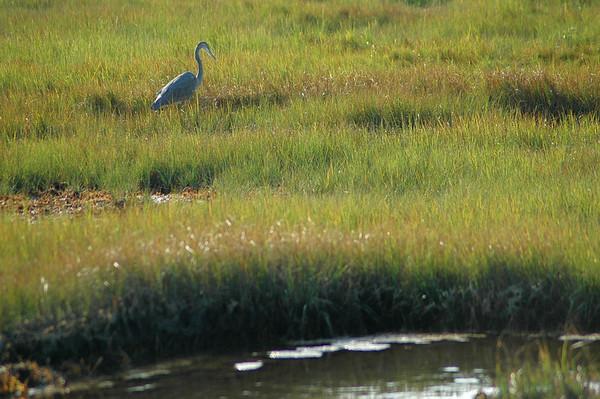 Plum Island - Refuge Road - Great Blue Heron