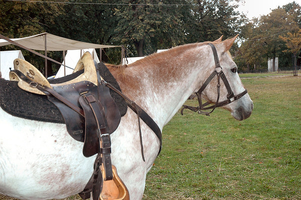 Military Charger Showing McClellan Saddle