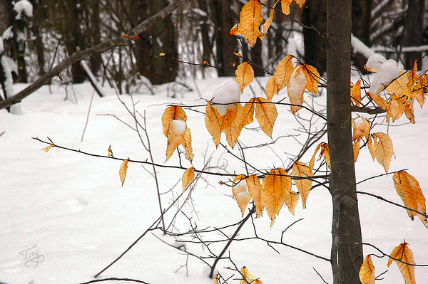 Beech Leaves 2/27/11  Gathering firewood, I was struck by the color, luminescense, and soft translucence of these hardy beech leaves, hanging in there through this severe winter.  According to Willem Lange, when these fall off, it's a sure sign of impending Spring.  I guess Spring is still some time away...