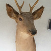 Buck Deer Taxidermy Mount