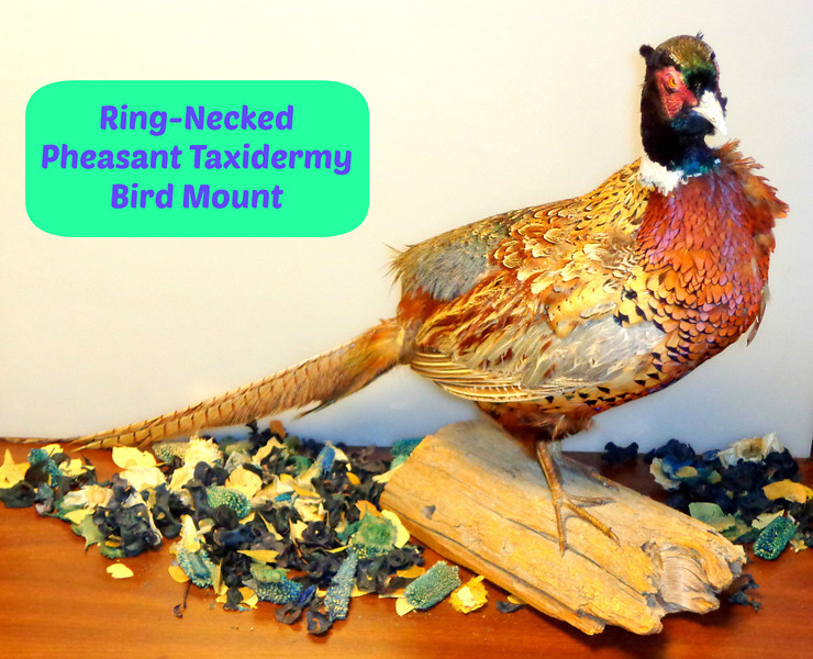 Ring Necked Pheasant Taxidermy Bird Mount ~ Amherst Ringneck Grouse.  26 x 9 x 18.  <b>$150</b>