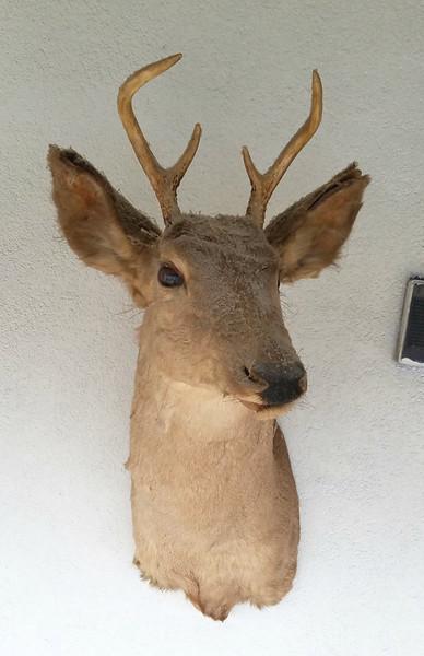 Buck Deer Taxidermy Mount