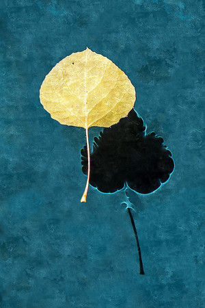 Golden Aspen Leaf and Shadow