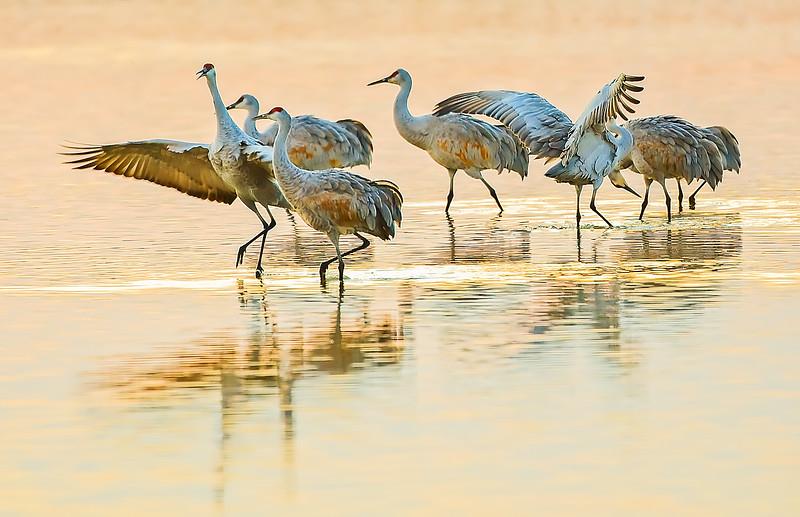 Sandhill Cranes at Bosque Del Apache Golden Hour
