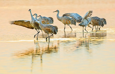 Sandhill Cranes at Bosque Del Apache Golden Hour