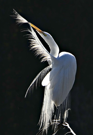 Backlit Preening Great Egret