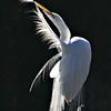 Backlit Preening Great Egret