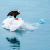 Bald Eagle lunching on an Iceberg