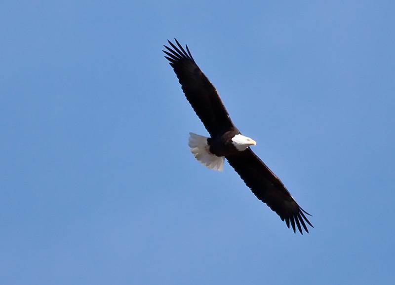 Bald Eagle male mature