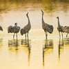 "Sandhill Cranes ""Harmonizing"" at Bosque Del Apache"