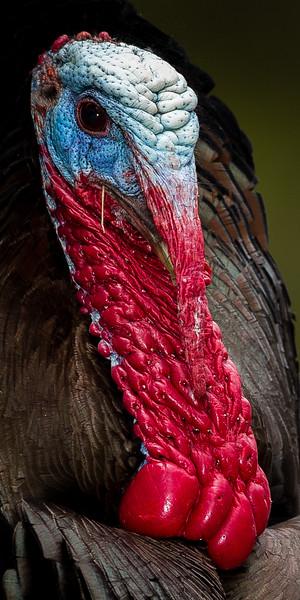 Wild Turkey male profile
