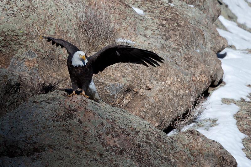 American Bald Eagle male mature