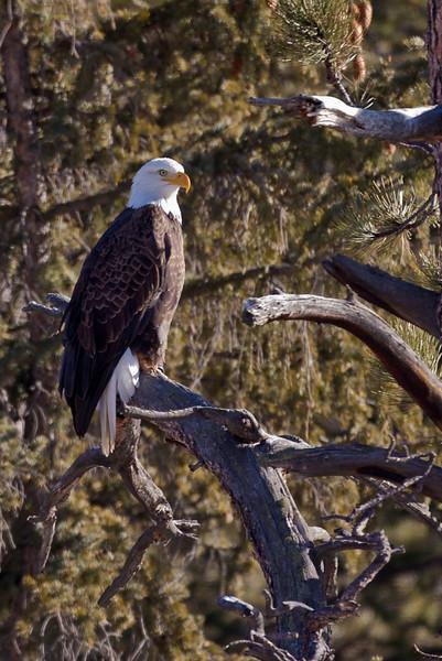 American Bald Eagle mature