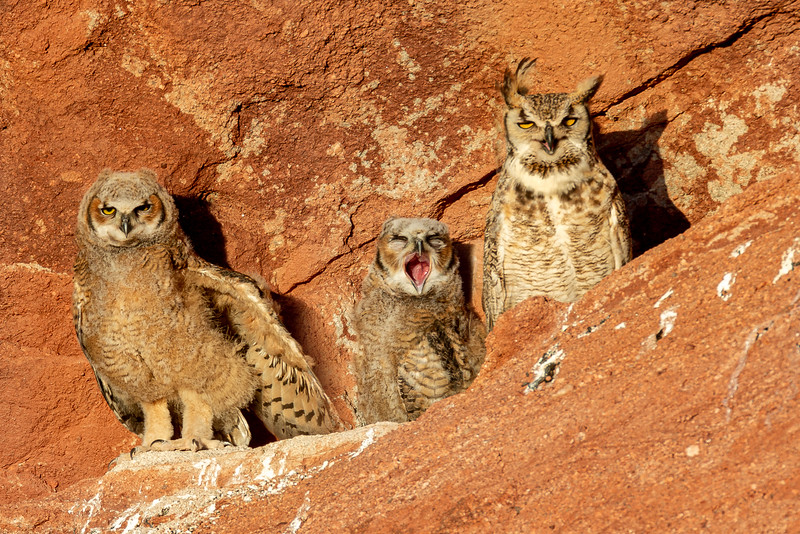 Great Horned Owl and two chicks