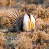Greater Sage-Grouse male breeding time