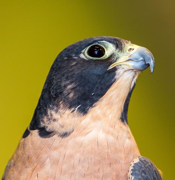 Peregrine Falcon male profile
