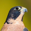 Peregrine Falcon male profile